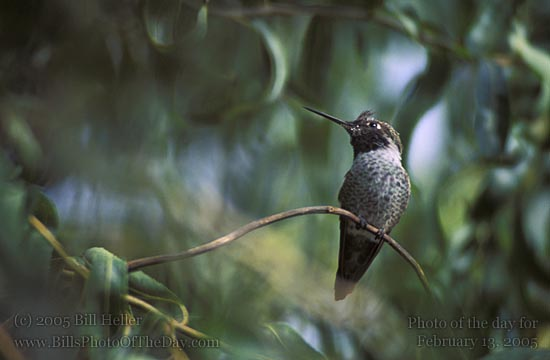Hummingbird pearched in Curly Willow Tree