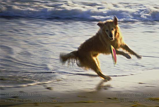Golden Retriever catching a toy at the beach