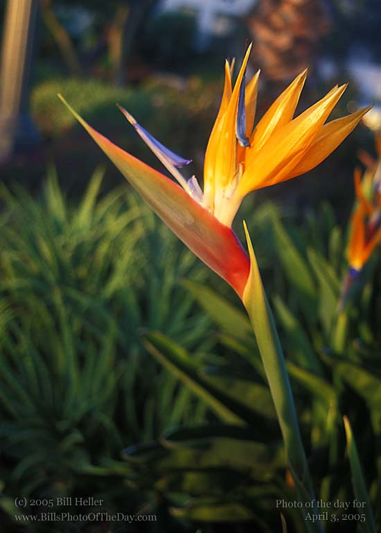 Bird of Paradise [<em>Strelitzia Reginae</em>] Flower