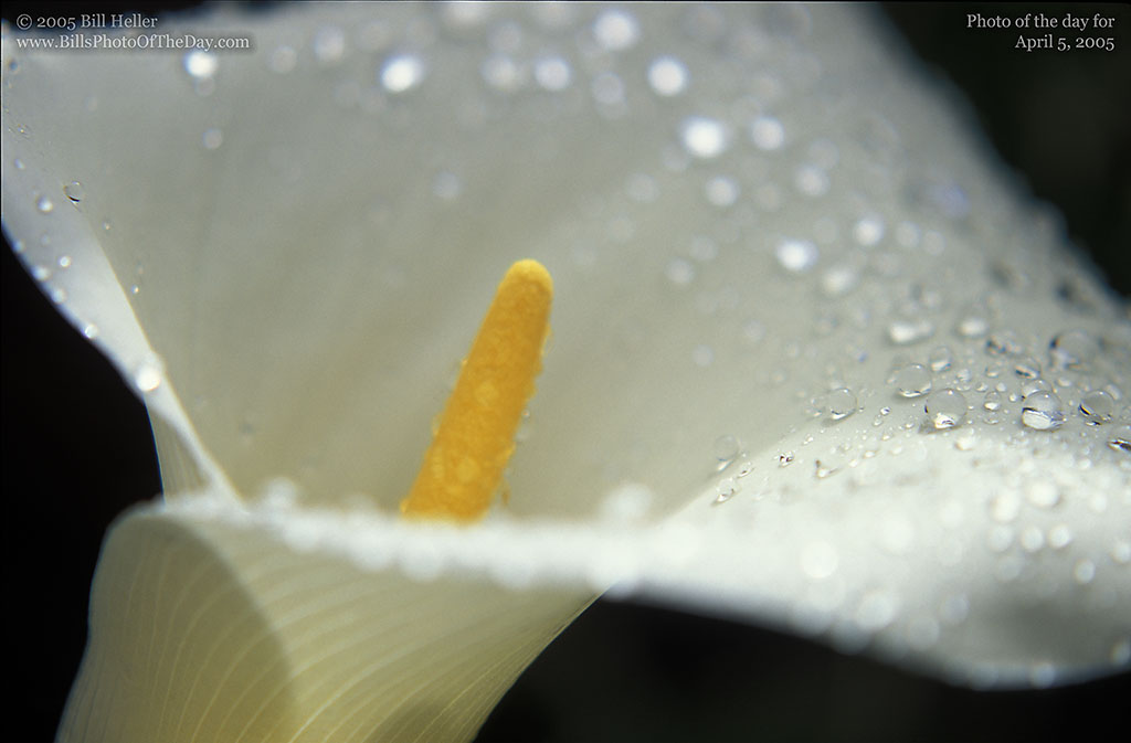 Calla Lily [<em>Zantedeschia Aethiopica</em>] covered in drops of water