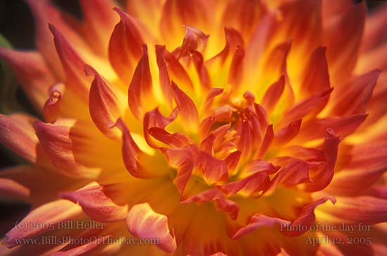 Dahlia Flower Close-up