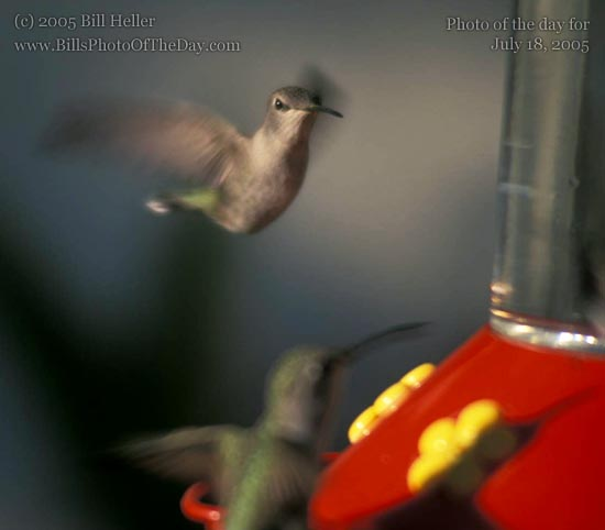 Hummingbirds at a feeder in Palm Springs, California