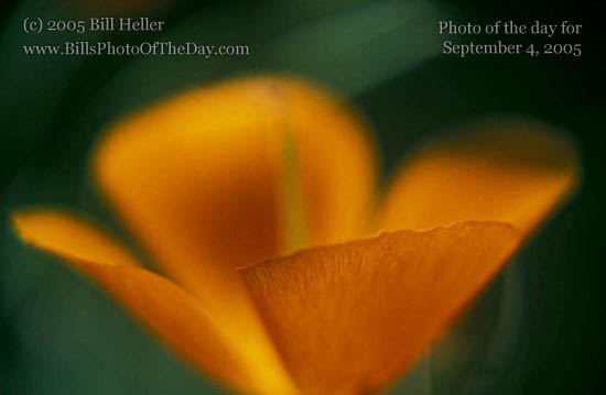 California Poppy [<em>Eschscholtzia californica</em>]