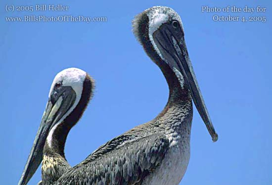 Brown Pelicans [<em>Pelecanus occidentalis</em>]