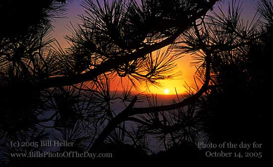Sunset through a pine tree in the hills by Laguna Beach