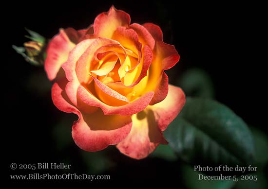 Icing inspiration yellow rose with red petal tips bill hellers yellow rose with red petal tips mightylinksfo