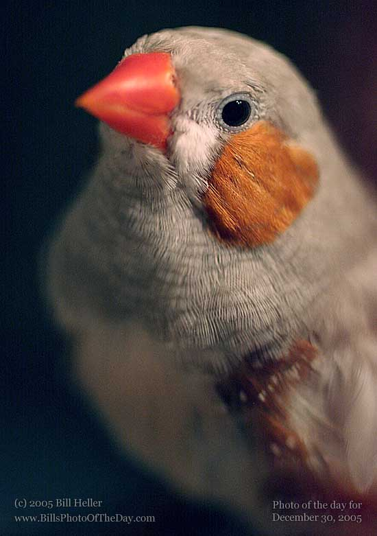 THE Bird, A.K.A. Pip-Squaker (See Tom & Jerry for that reference), Zebra Finch [<em>Taeniopygia guttata castanotis</em>]
