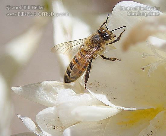 Honey Bee and White Freesia