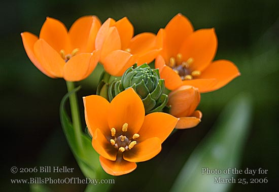 sun star photos, by bill heller, Beautiful flower