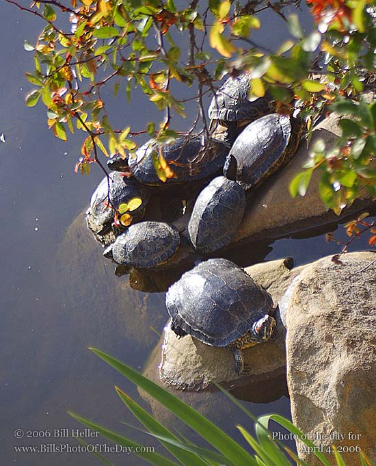 Turtles at Alice Keck Park Memorial Gardens, Santa Barbara