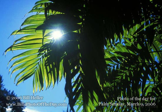 Backlit Palm Fronds