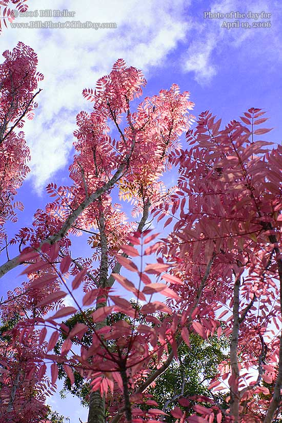Chinese-Toon-Trees-Toona-sinensis-or-Ced