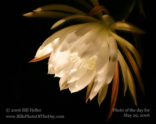 Night Blooming Epiphyllum | Night Blooming Orchid Cactus ...