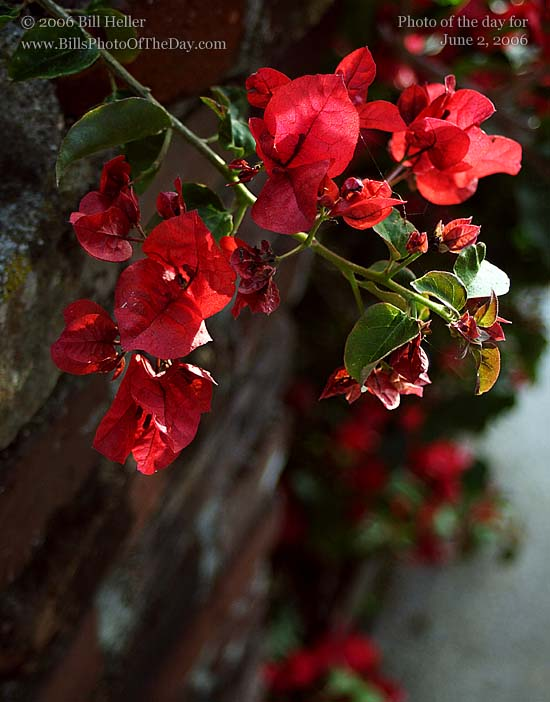 Red Bougainvillea hanging over a brick wall