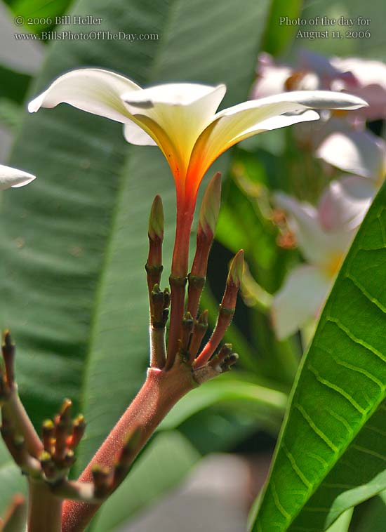 Plumeria Flower and Buds
