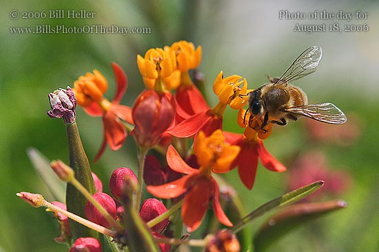 Milkweed [<em>Asclepias tuberosa</em>] Flower and Honey Bee [<em>Apis mellifera</em>]