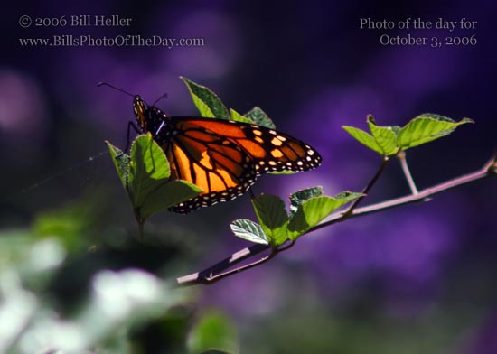 Monarch Butterfly [<em>Danaus plexippus</em>] Basking in the Sunlight
