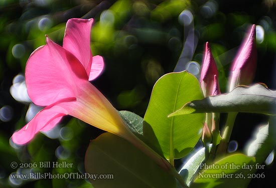 Mandevilla and Buds [<em>Mandevilla splendens</em>]