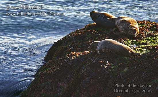 Harbor seals lounging on a rock in Montery