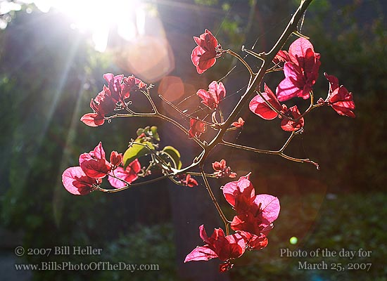 Bougainvillea [<em>Bougainvillea spectabilis</em>] hanging in front of the evening sun