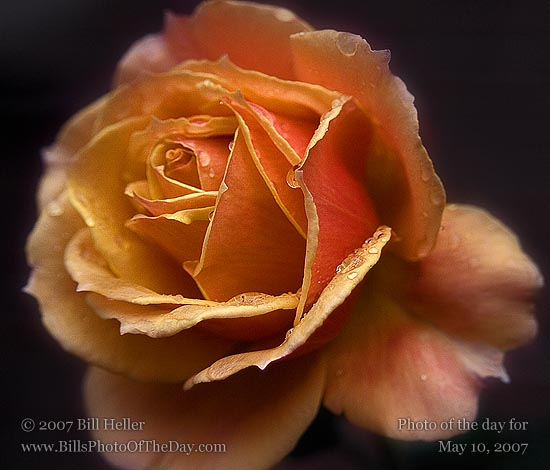 Brass Band Rose