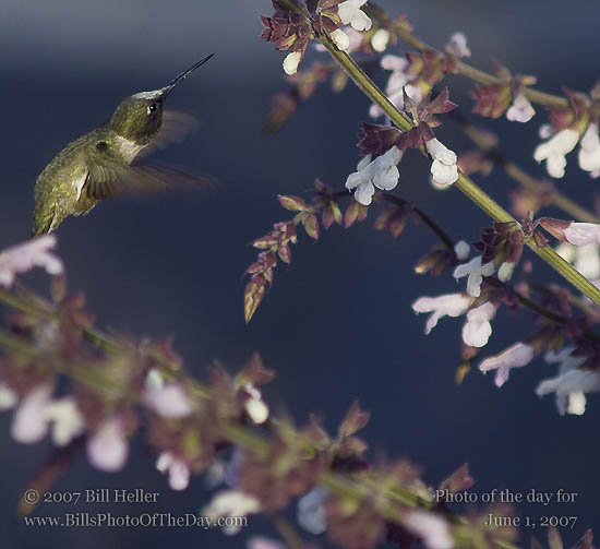 Anna's Hummingbird [<em>Calypte anna</em>] hovering in the evening light