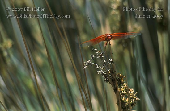 Flame Skimmer [<em>Libellula saturata</em>] sitting in the reeds by the water's edge