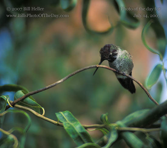 Anna's Hummingbird [<em>Calypte anna</em>] cleaning her beak in a Curly Willow [<em>Salix matsudana</em>] tree