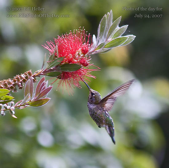 Hummingbird drinking nectar from a Mimosa Tree blossom