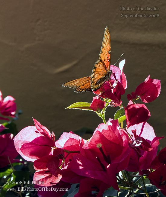 Gulf Fritillary Butterfly [<em>Agraulis vanillae incarnata</em>] sunning himself on our Bougainvillea