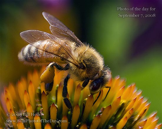 Honey Bee [<em>Apis mellifera</em>] on a Purple Cone Flower [<em>Echinacea purpurea</em>]