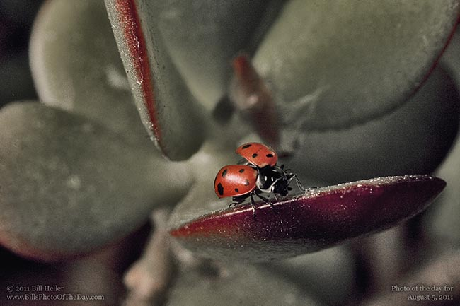Ladybug taking flight from Jade Plant