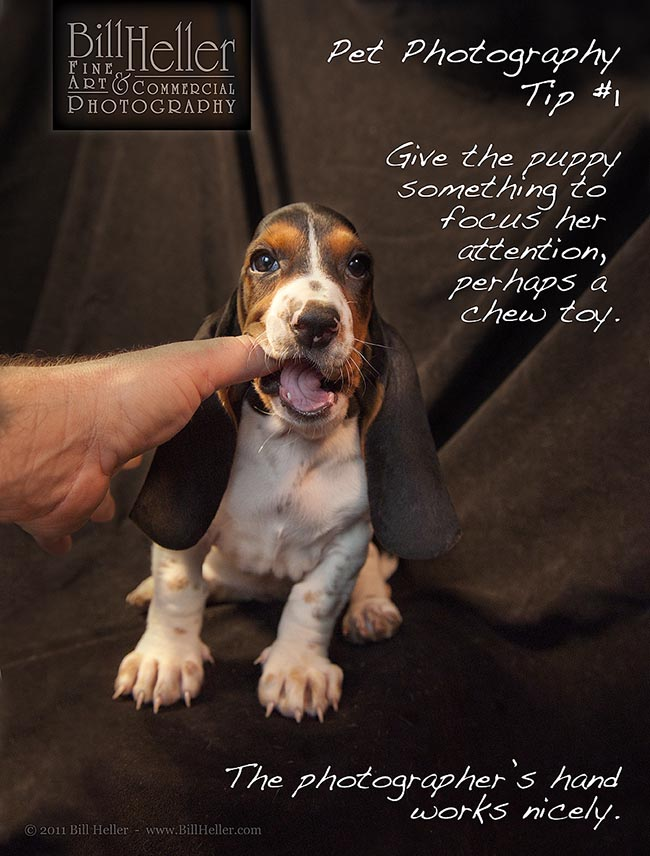 Basset Hound Puppy Chewing on Photographer's Hand