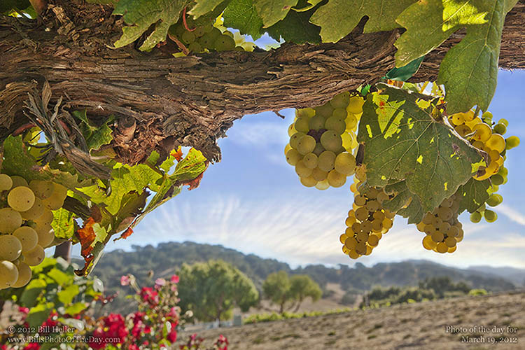 Grapes hanging from the vine in the Santa Ynez Valley