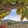 Santa Ynez Grapes on the Vine