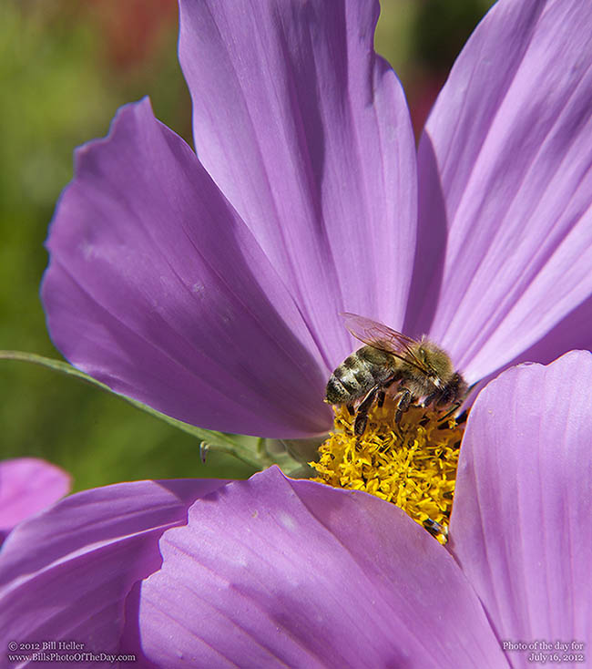 Honey Bee on a Cosmos Flower