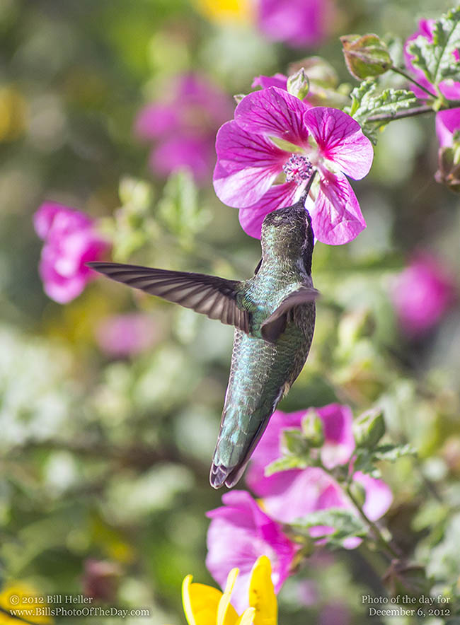 Anna's Hummingbird hovering at a flower