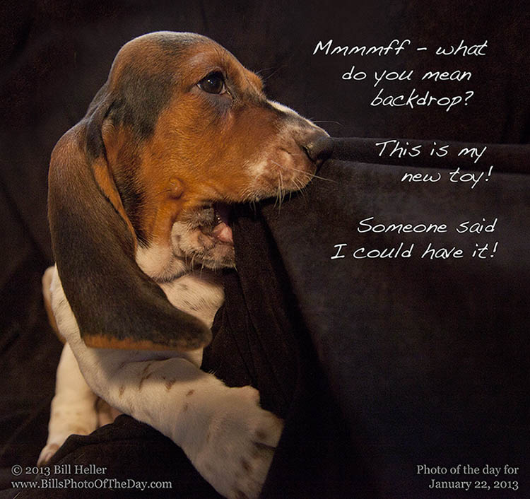 Basset Hound Puppy at Daphneyland Basset Rescue