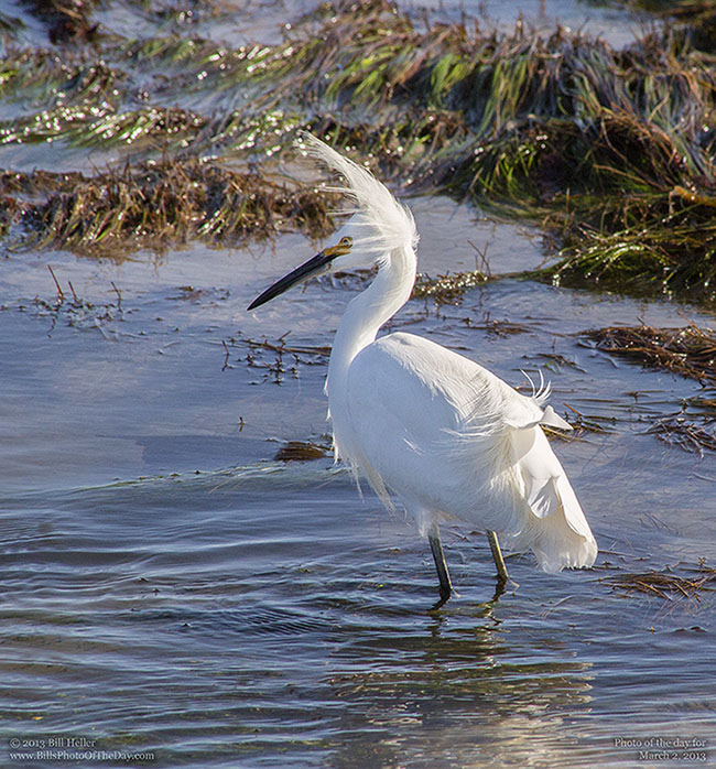 Snowy Egret [Egretta thula] at Shoreline Park in Santa Barbara