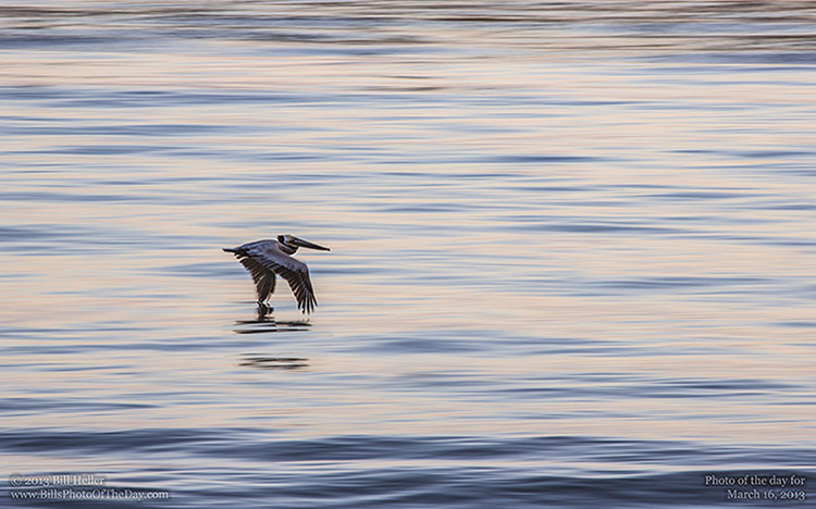 Brown Pelican [Pelecanus occidentalis] skimming the surface