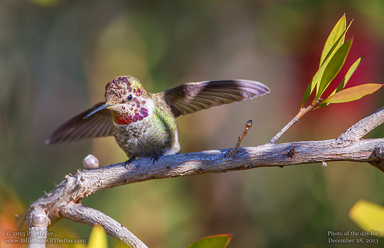 Anna's Hummingbird Spreading his Wings