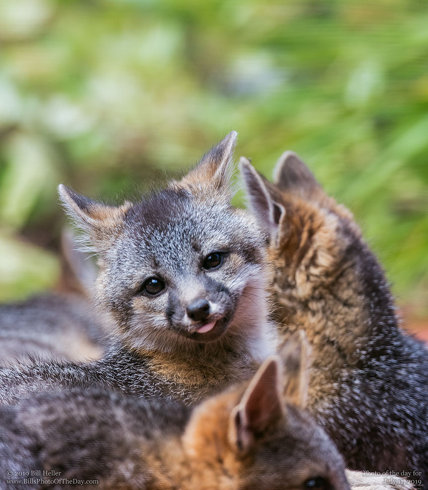 Gray Fox [Urocyon cineroargenteus] in the wild with littermates