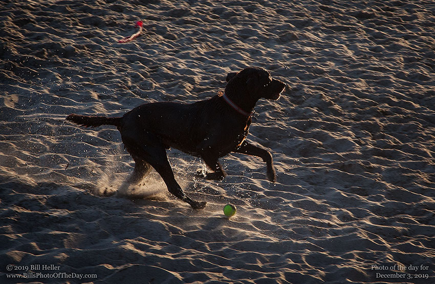 Chocolate Lab happily retrieving a ball on Butterfly Beach in Santa Barbara