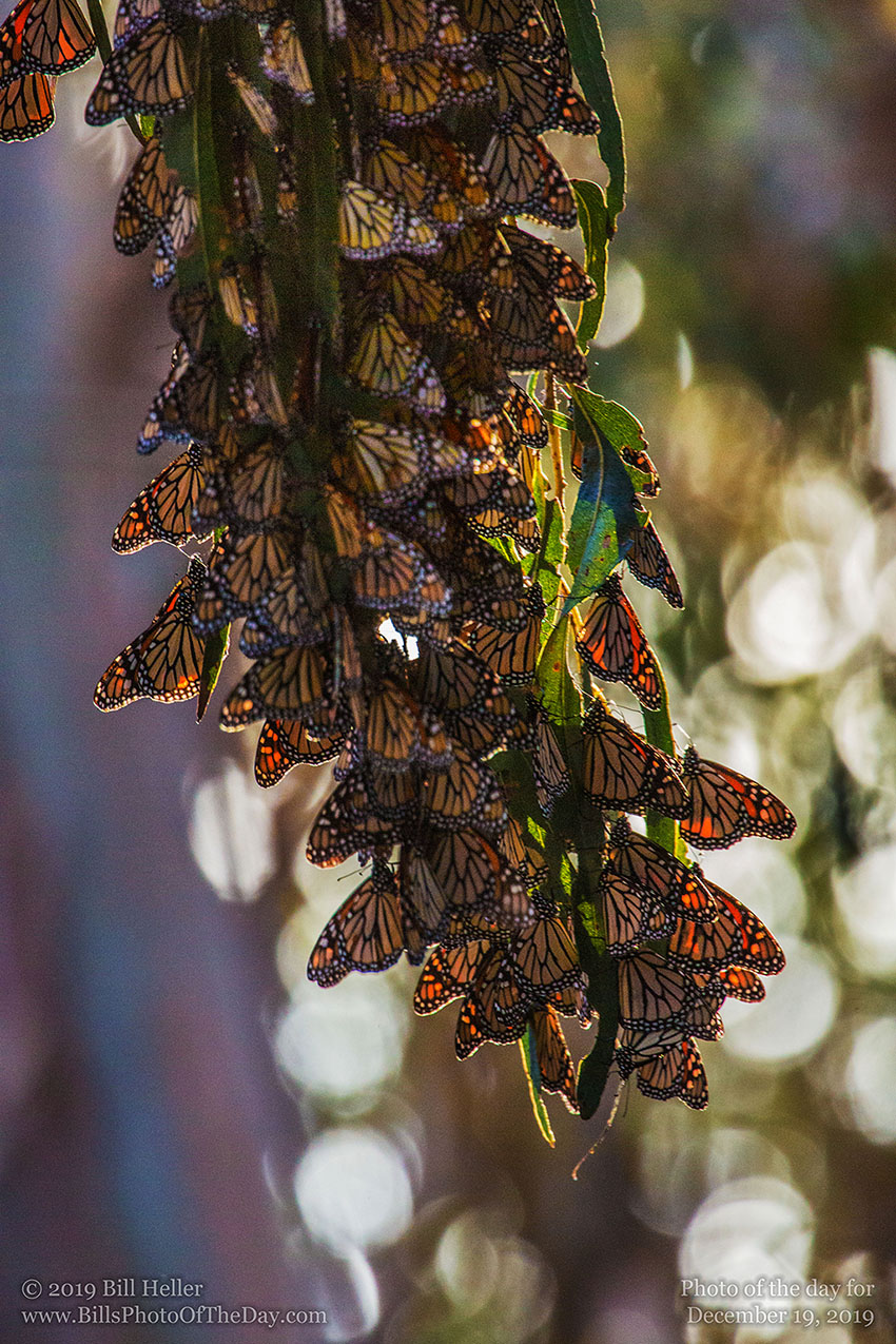 Winter Monarchs
